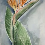 Papegojblomma (akvarell)
